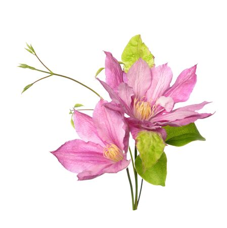 A bouquet clematis isolate on white