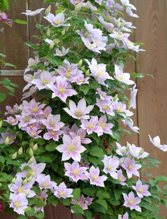 Purple clematis blooming in the garden