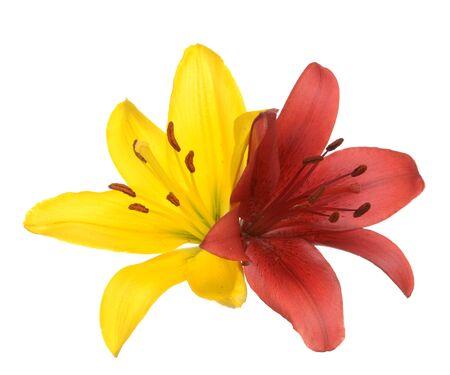 Flores de lirio amarillo y rojo aislado en blanco Foto de archivo