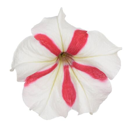 red and white petunia isolate on white