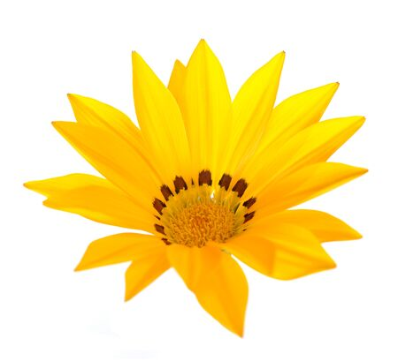 Yellow  gazania flower isolated on white