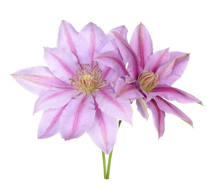 pink  clematis flower isolate on white