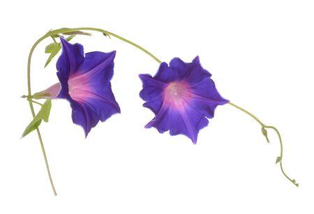 Purple morning glory flower isolated on white