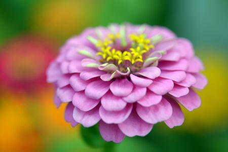 Zinnia flower in garden on daytime