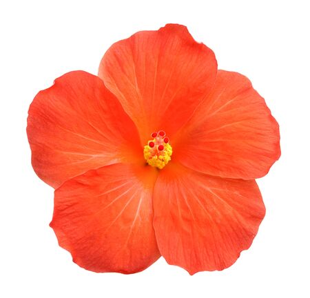 Beautiful single orange hibiscus flower isolated on white Imagens