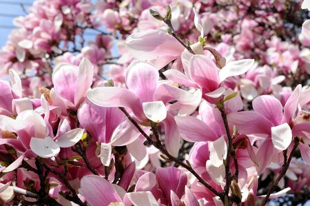 blowing magnolia flowers in morning time of Spring season