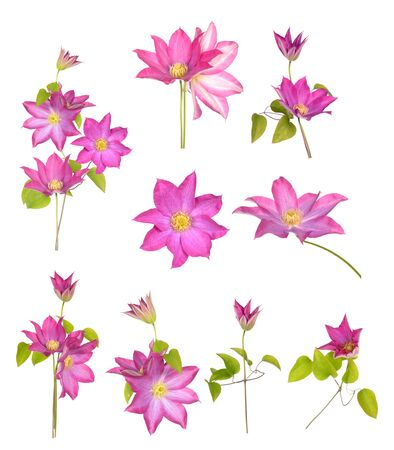 a bunch purple clematis isolated on white background Banque d'images