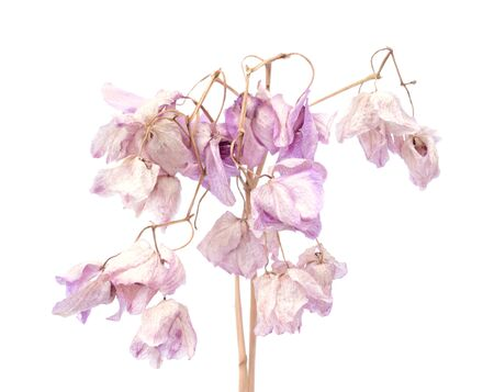 a lot of  dried orchid on isolated white background
