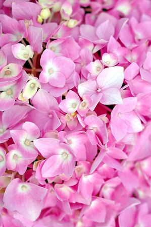 close up of pink Hydrangea for background and texture use Banco de Imagens - 133510115