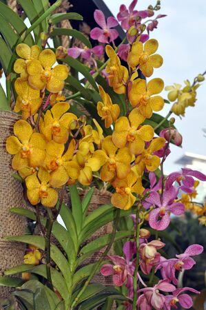 beautiful yellow orchid in garden Stock fotó