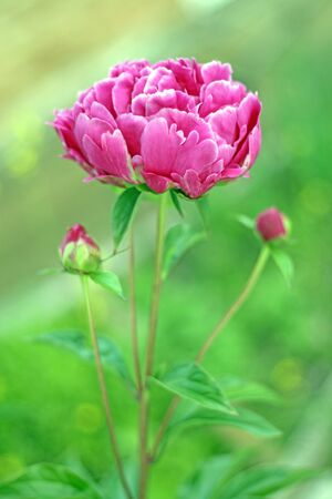 Magenta colorful peony flower in garden under sunshine