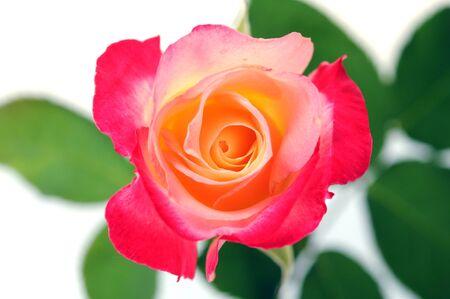 A beautiful tea pink rose Banque d'images - 133511075