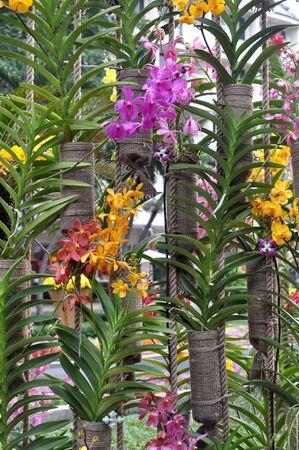 phalaenopsis  orchids flower decorated in garden Stock fotó
