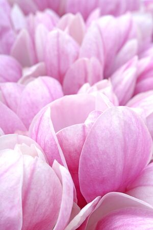 pink magnolia flowers for background uses