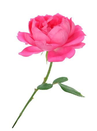 a beautiful pink rose isolated on white background Banque d'images - 133511319