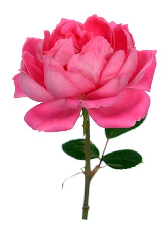 A beautiful rose isolated on white Banque d'images - 133511332