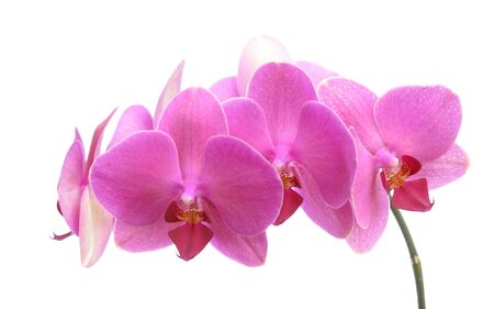 fresh pink orchids branch isolate on white background Stock fotó