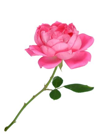 A beautiful rose isolated on white Banque d'images - 133511670