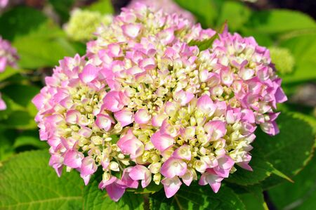 pink hydrangea in garden under sunny Banco de Imagens - 133511767