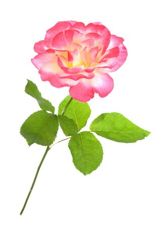 a beautiful pink rose isolated on white background Banque d'images - 133511769