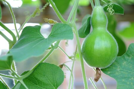 young bottle gourd on tree in the garden