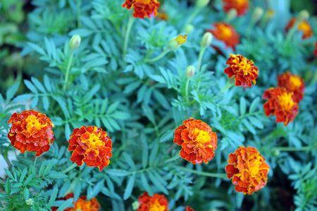 Orange marigold (Calendula officinalis) in garden