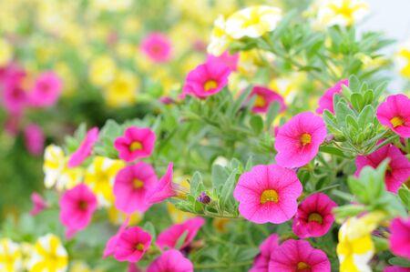 Flores de petunia rosadas y amarillas en el jardín (poca profundidad de campo)