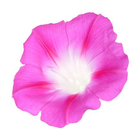 glory morning flower isolated on white background