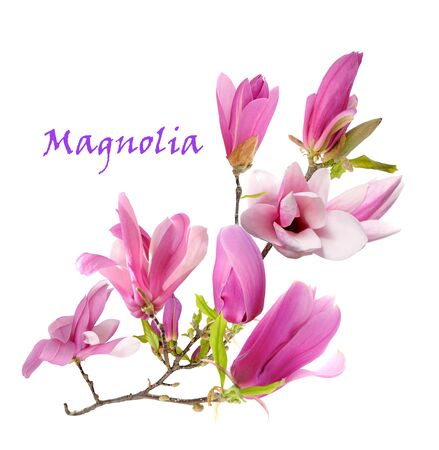 rosa Magnolienblume lokalisiert auf weißem Hintergrund Standard-Bild