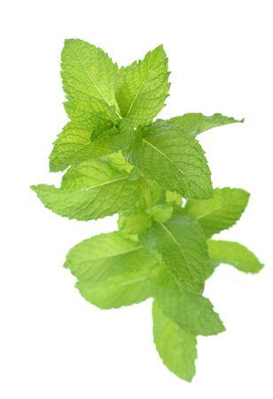 ein frischer grüner Minzzweig isoliert auf weiß