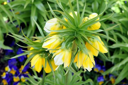 yellow crown Imperial flower in garden under sunshine