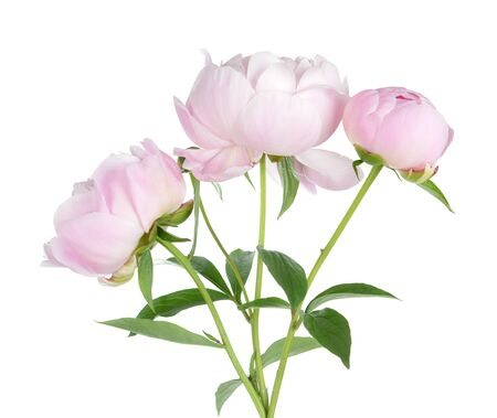 beautiful pink peony isolated on white background