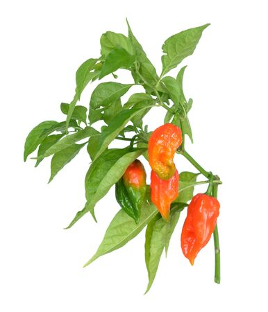 a branch bhut jolokia: hottest pepper from chile isolated on white background