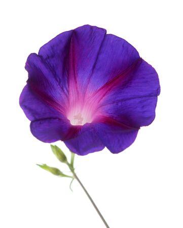 purple morning glory isolated on white background Stock fotó