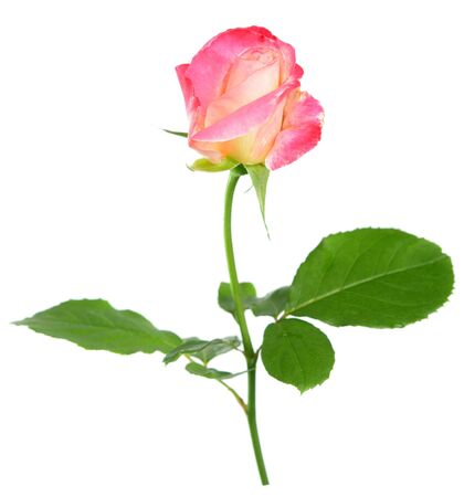 Rose thé rose deux tons isolated on white Banque d'images