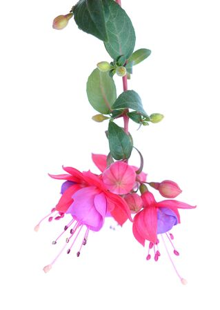 a branch fuchsia lena flower isolated on white