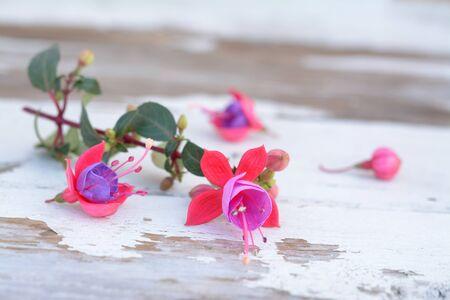 ein Zweig fuchsia lena Blume auf Grunge-Tisch