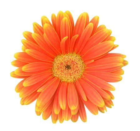 einzelne orange Gerbera isoliert auf weißem Hintergrund Standard-Bild