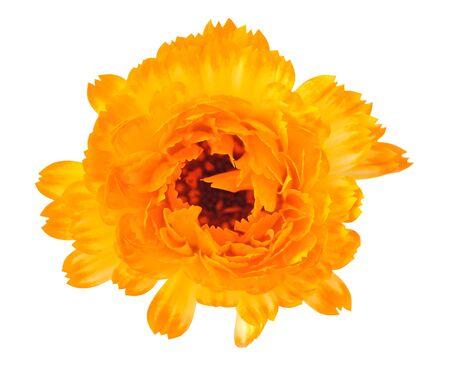 blowing orange calendula flower isolated on white background