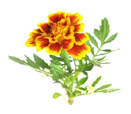 Afrikanische Ringelblume (Tagetes Erecta) Blume isoliert auf weiss