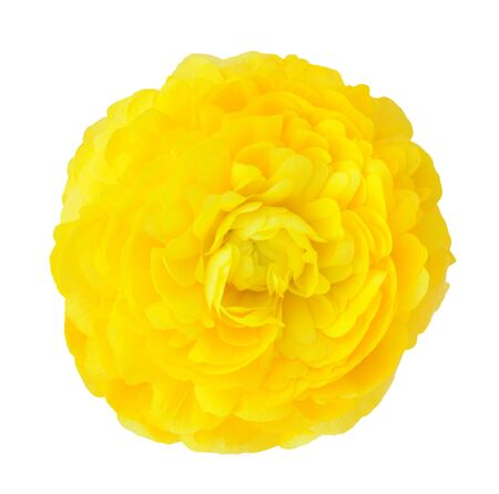 single yellow buttercup isolated on white background Stock Photo