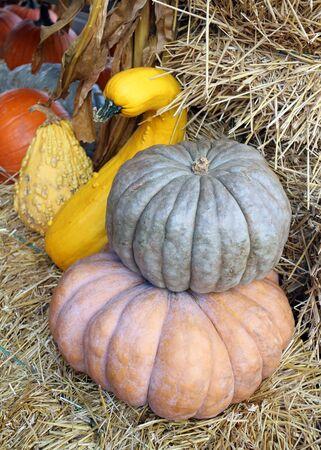 two Jarrahdale pumpkin at the market place 版權商用圖片