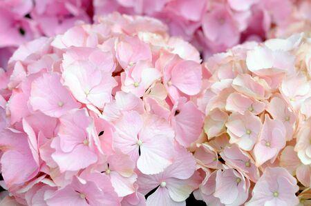 Nahaufnahme von rosa Hortensie für Hintergrund- und Texturverwendung