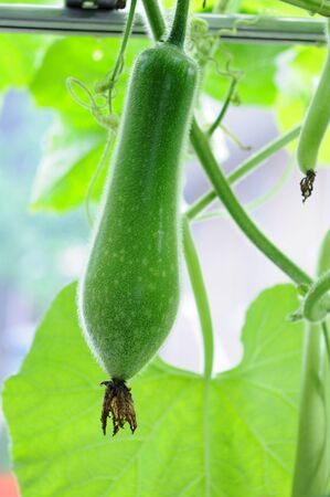 young winter melon on its tree