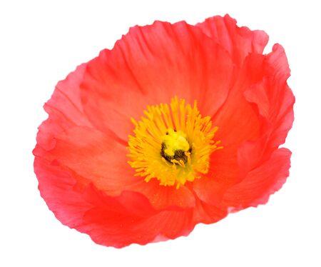 single orange poppy isolated on white
