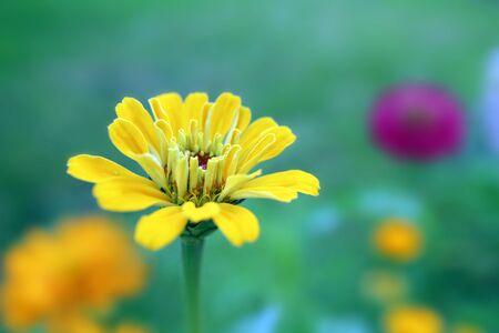 glowing yellow zinnia flower in the garden