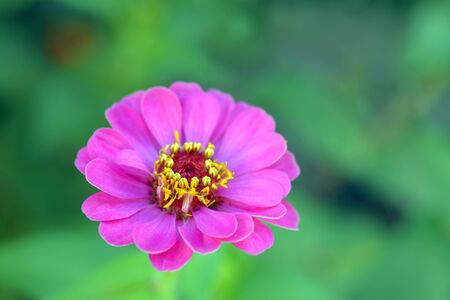 Magenta color of zinnia flower glow in garden in morning time