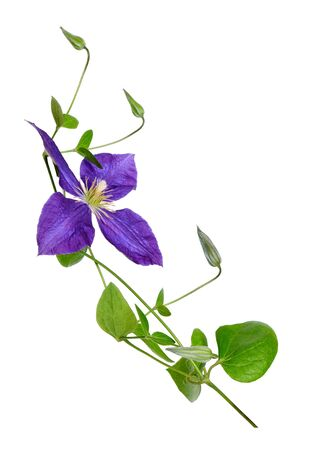 beautiful purple clematis flower  isolated on white