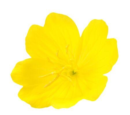 yellow primrose oenothera frutcosa flower isolated on white