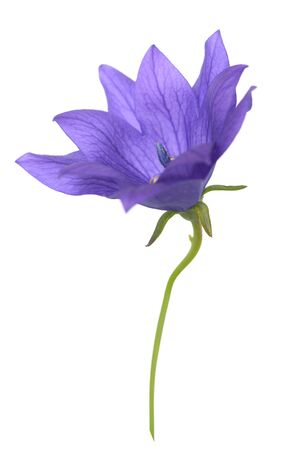 purple Platycodon grandiflorus flower isolated on white background  写真素材
